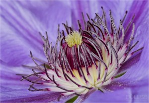 Clematis, Clematis centre, Purple Flower, Purple flowers, product photography, still life photography, Purple petals, Flower photography