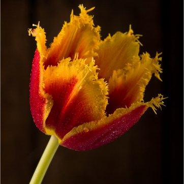 Curly Sue Tulip, Red and Yellow Tulip, Red and yellow Flower, Red and yellow flowers, product photography, still life photography, Red and yellow petals, Flower photography, Water droplets on flower, Water droplets