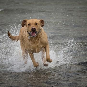 Labrador, pet photography, dog photography, dog portrait, pet portrait, dog in the sea