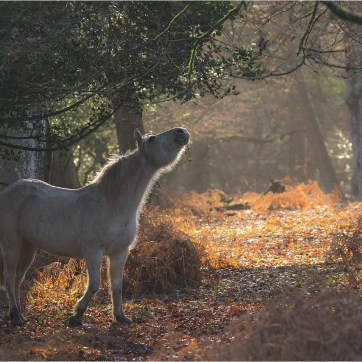 New Forest Pony, White New Forest Pony, New Forest, The New Forest, Horse nibbling, Backlit horse in forest, Backlit pony in forest, pony in golden sunlight. Animal photography, Animal wildlife