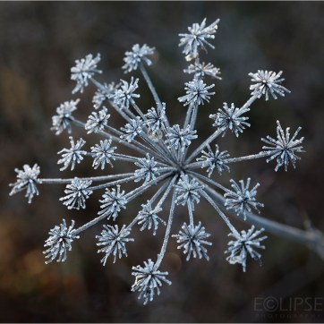 Frosted plant, Haw frost, Product photography, still life photography, Flower photography