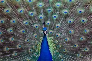 Peacock, peacock fantail, peacock feathers, peacock eye, bird photography, animal photography, Peacock display, peacock displaying, blue feathers, Staunton Farm, Staunton Country Park