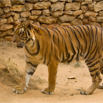 Castellar Zoo, Zoo, Holding animals, Big cat, rescue and recovery centre, animal welfare, Tiger, endangered, tiger teeth, tiger snarl, animal photography, animal portrait, tiger whiskers