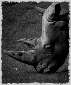 White Rhino, White Rhinoceros Marwell Zoo, Marwell Wildlife, Wildlife photography, captive wildlife, animal photography, endangered species