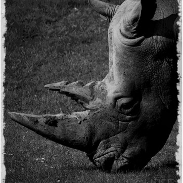 White Rhino, White Rhinoceros Marwell Zoo, Marwell Wildlife, Wildlife photography, captive wildlife, animal photography, endangered species