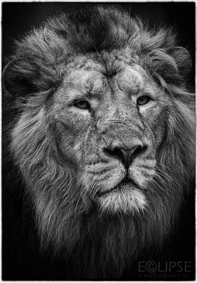 Lion, Mane, Lions face, Lion mane, animal photography, animal portrait