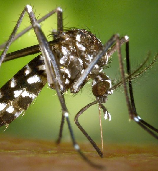 moustique-ecoci