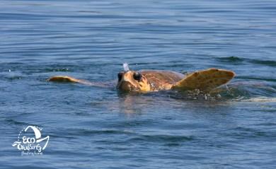 Θαλάσσια χελώνα Caretta caretta