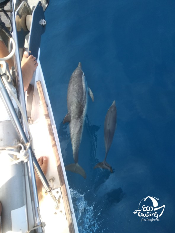 STRIPED DOLPHINS AT CORINTHIAN GULF