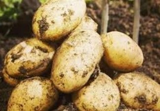 pile organic jersey benne potatoes on top of soil