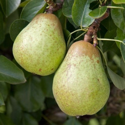 Organic Pears - Cole - kg 1