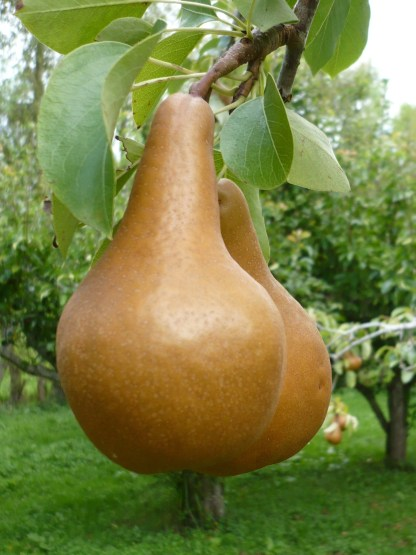 Organic Pears - Cole - kg 3