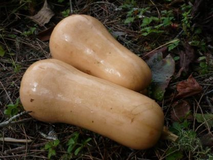 two whole organic butternuts in the garden