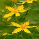 Tipos de plantas medicinales según sus propiedades