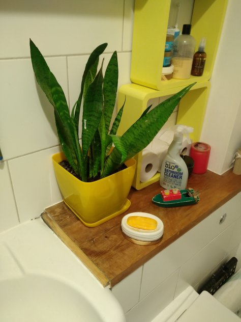 Showing the snake plant that used to take moisture from the air