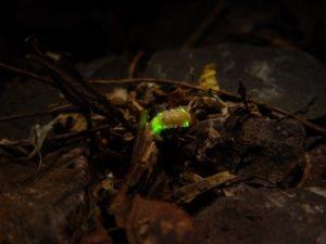Pesquisadores da UFSCar fazem o primeiro registro no mundo da existência de larvas luminescentes de vagalumes em cavernas no Pará, e relatam a ocorrência de cupinzeiros luminosos no interior da floresta amazônica (Foto: Wikimedia Commons)