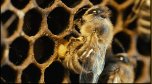 Bees for more than honey