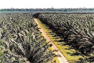 Plantação de palma (dendezeiro)
