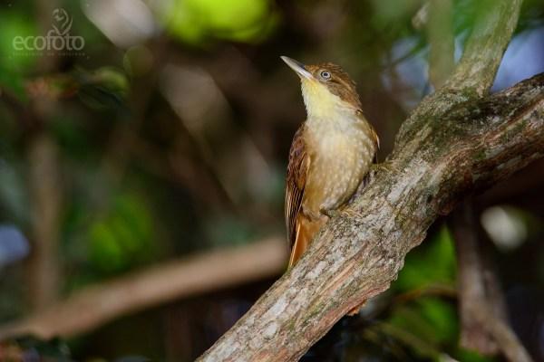 Barranqueiro-de-olho-baranco (Automolus leucophthalmus) - DSC_6035