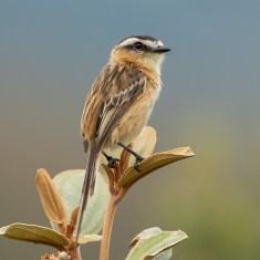 Fauna Mineira: Nova Lima