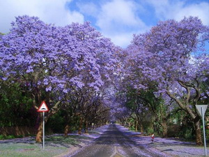 Tree Tunnel South Africa