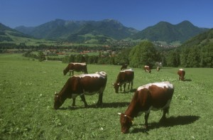 Sustainable Meat Pastured Cattle