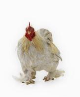 Organic Chicken versus conventional chicken