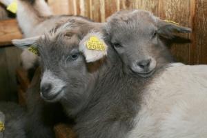 goat kids mohair
