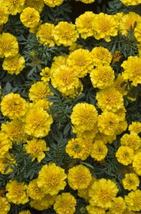 Edible flowers marigolds