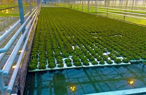 Floating Trays Aquaponics