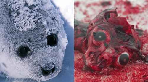 contra la matanza de focas