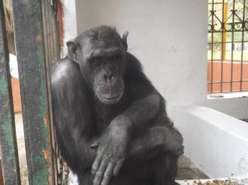 Matan a un chimpancé en un zoo de Mallorca