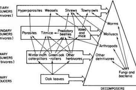 food chains in the deciduous forest sciencing food chains in the deciduous forest temperate deciduous forest biomes there are many plants including maple