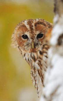 Tawny Owl long