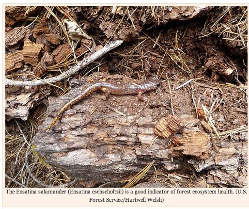 Woodland Salamander and Greenhouse Gases