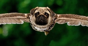 a hybrid of a pug body and raptor wings