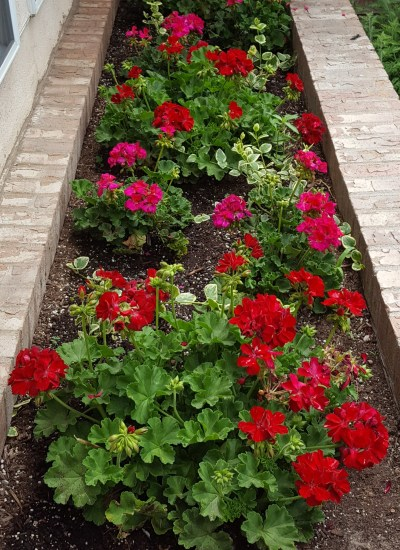 Geraniums in brick planter