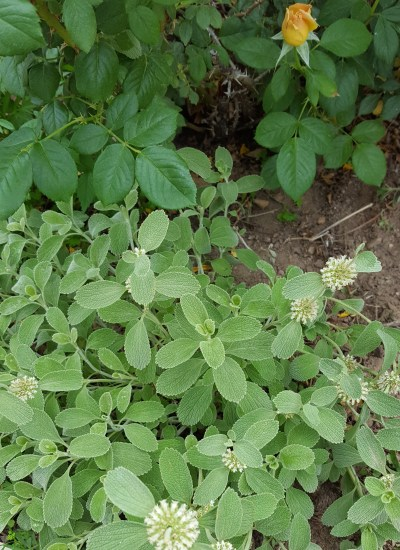 Horehound with small white blooms