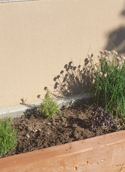 Lavender, rosemary, purple leaf sage and chives