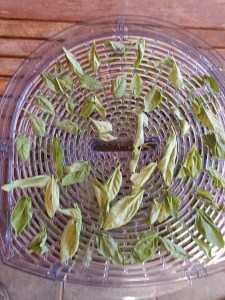Tray of drying basil