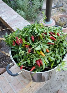 Harvested Peppers Summer into Winter