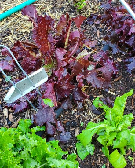 Summer Hail Storm 5 Star Lettuce
