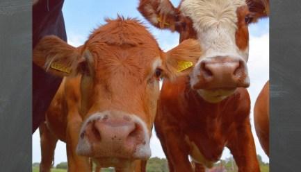 Cow linkedIn