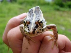 トウキョウダルマガエル。正面から見ると、ご覧のように背中が三角に盛り上がっており、おむすびみたいな形をしているのが特徴です。
