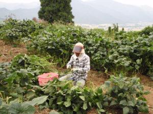 枝豆をていねいに収穫する祐子さん。1本のクキには、まばらに10個前後の枝豆が実っています。とても手間のかかる作業です。