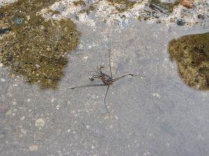 シマアメンボ。よく田んぼにいるアメンボより体が丸い。湧水のきれいな流れや山際の水路などに住んでいる。