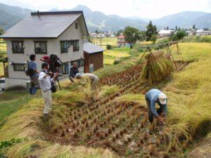 高野が稲を刈る様子を間近で撮影。このカットが採用されれば、かなりのアップではないだろうか。