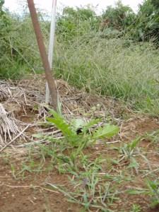 参加者のみなさんがどうやってた根をまくか相談した場所に、大根が育っていました。種を袋から出して分けたときの「こぼれ種」です。