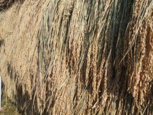 10月4日のはざの様子。ほとんど全体が乾燥して茶色くなった。はざの厚みも薄くなった感じ。