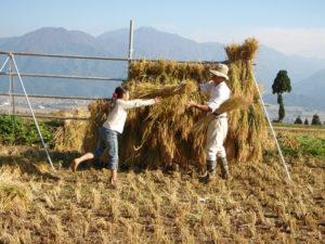 稲の束を女の子が投げて、大人がはざにかけます。回りの人との共同作業でペースがぐんと上がります。